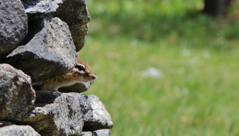 Chipmunk on rocks at IMS