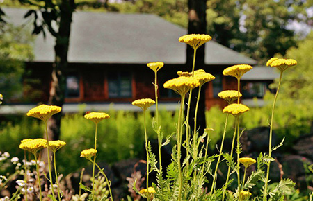 Golden yarrow flower at the Forest Refuge